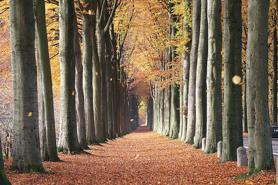 La Hestre  (Belgium), the European beech of Mariemont.