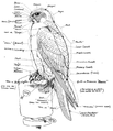 Falconry sport of kings (1920) chart.png