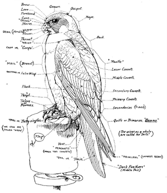 Falconry - Chart by Louis Agassiz Fuertes (1920) illustrating falconers' terminology.