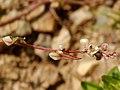Fallopia convolvulus flowers Tutin1.JPG