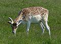 Fallow Deer 2013-06-10.jpg