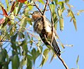 Fan-tailed Cuckoo (Cacomantis flabelliformis) (31219792582).jpg