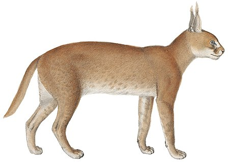 Felis caracal - 1818-1842 - Print - Iconographia Zoologica - Special Collections University of Amsterdam -(White Background).jpg