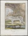 Felis onca - 1700-1880 - Print - Iconographia Zoologica - Special Collections University of Amsterdam - UBA01 IZ22100168.tif