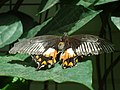 Female Common Mormon butterfly at the Niagara Parks Butterfly Conservatory, 2010.jpg