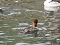 Female Smew (14377619264).jpg