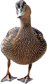 Female mallard.png