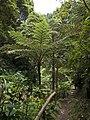Fern tree in Mata Jardim José do Canto 4.jpg