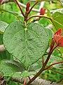 Ficus auriculata 02.jpg