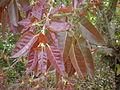 Ficus ingens 5c.JPG