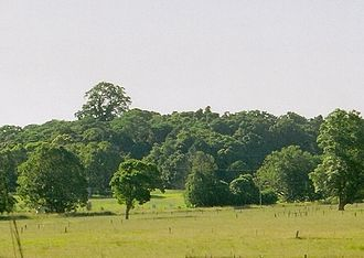 Big Scrub - Image: Ficus macrophylla Alstonville