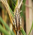 Field Grasshopper. Chorthippus brunneus probably (39682104943).jpg