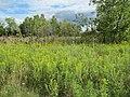 Fields of Goldenrod (Solidago) (6163953961).jpg