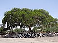 Fig Tree-Gathering Place - Axum (Aksum) - Ethiopia (8702252344).jpg