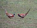 Fighting birds, Drumdeevin - geograph.org.uk - 1805977.jpg