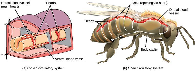 (a) Tvärsnittet av en daggmask visar att den har ett slutet cirkulationssystem. (b) En insekt, som till exempel ett bi, har ett öppet cirkulationssystem.