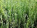 Filago vulgaris sl278.jpg