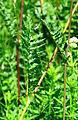 Filipendula vulgaris Bobrovnya2.JPG