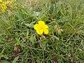 Fiori gialli e timo selvatico.jpg