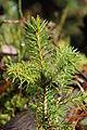 Fir tree (14971123944).jpg