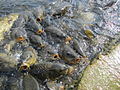 Fishes Feeding in Mansar Lake.JPG