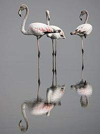 Flamants rose lac de Tunis.jpg