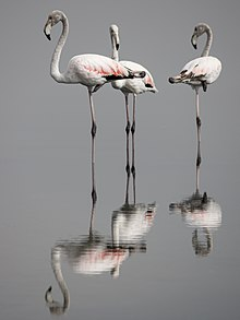 Flamants rose lac de Tunis.jpg
