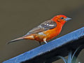 Flame-colored Tanager RWD2.jpg