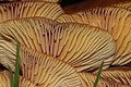 Flammulina velutipes (24718056713).jpg
