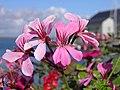 Fleur (Geraniales) (2).jpg