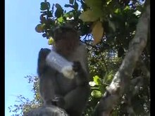 Fitxategi:Flexibility-in-Food-Extraction-Techniques-in-Urban-Free-Ranging-Bonnet-Macaques-Macaca-radiata-pone.0085497.s005.ogv