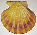 Flexopecten glaber (bald scallop) 2.jpg