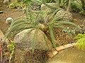 Flickr - brewbooks - Cycads in the greenhouse - Paloma gardens (1).jpg