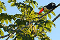 Flickr - ggallice - Toco toucan.jpg