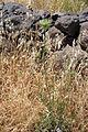 Flora della Sardegna 212 (1).JPG