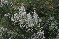 Flora della Sardegna 218 (02).JPG