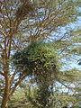 Flora of Tanzania 2464 Nevit.jpg