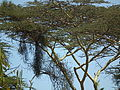 Flora of Tanzania 2465 Nevit.jpg