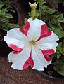 Flowers - Uncategorised Garden plants 109.JPG