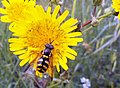 Fly disguised as a wasp (Eupeodes, Syrphidae).jpg
