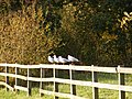 Four birds on a fence - geograph.org.uk - 1020297.jpg