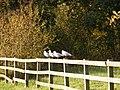 Four birds on a fence - geograph.org.uk - 1020297.jpg
