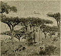 Frankincense and Adenium Trees.jpg