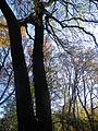 Fraxinus angustifolia (4).JPG