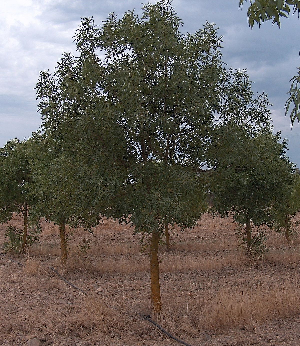 About: Fraxinus Angustifolia