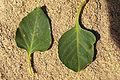 Fraxinus anomala leafupper.jpg