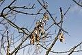 Fraxinus excelsior infructescence TK 1.jpg