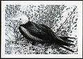 Fregata minor (Great Frigatebird) 140 days old, on Christmas Island (Kiritimati), Kiribati, 1967. (9392657967).jpg