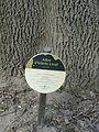 Freixe americà de l'antic jardí botànic P1250809.jpg
