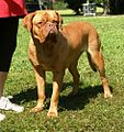 French Mastiff aka Dogue de Bordeaux 2.JPG